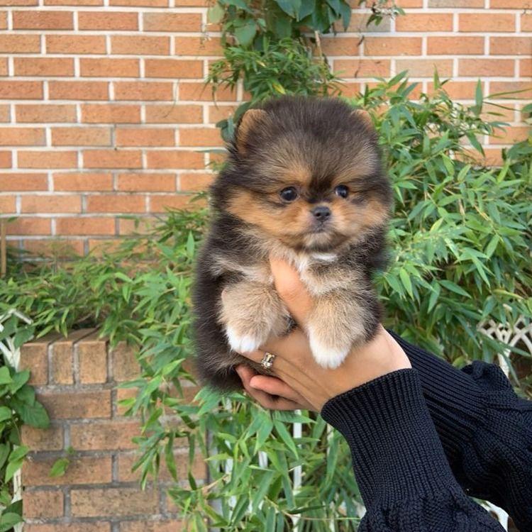 Pin on Elegant Pomeranian Puppies