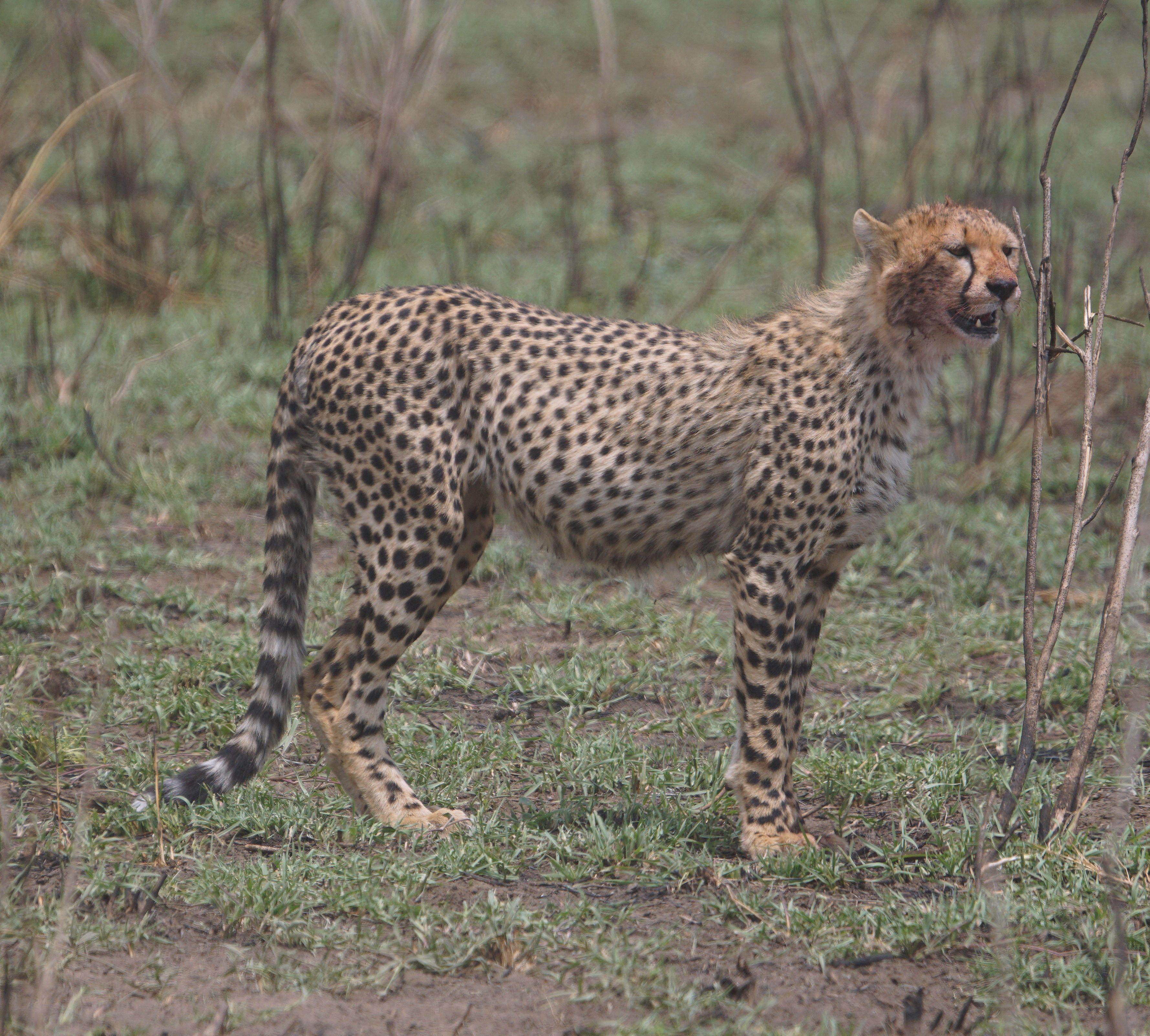 Cheetah, Tanzania Tanzania, Kenya, Animals