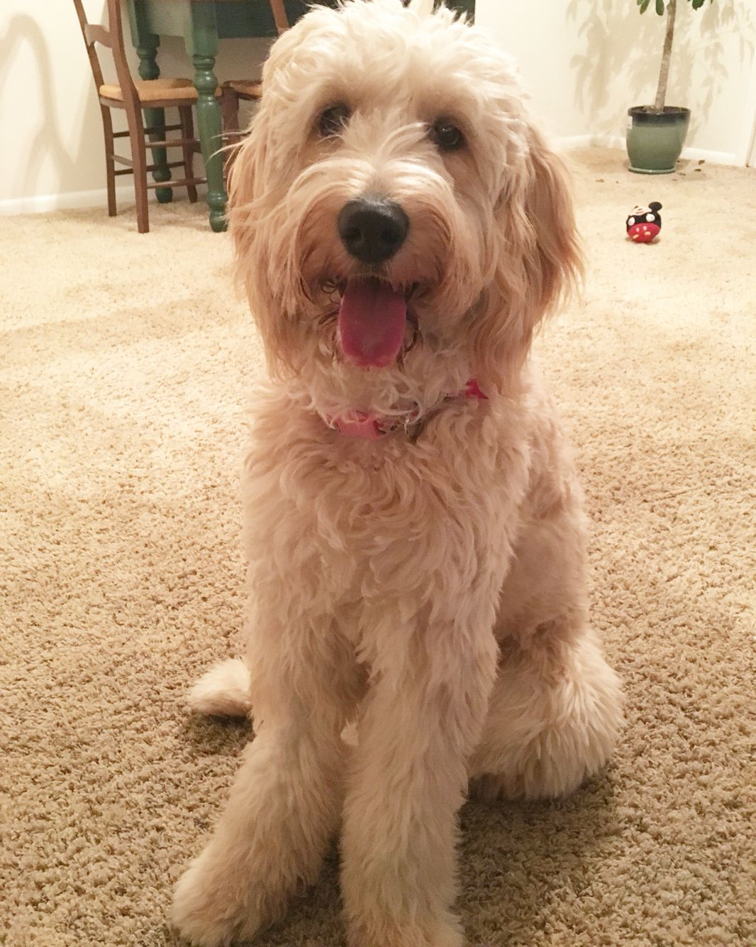 Maizey Goldendoodle 10 Months Old Tiere
