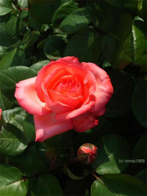 This rose named pink panther indoors and out pinterest pink this rose named pink panther mightylinksfo