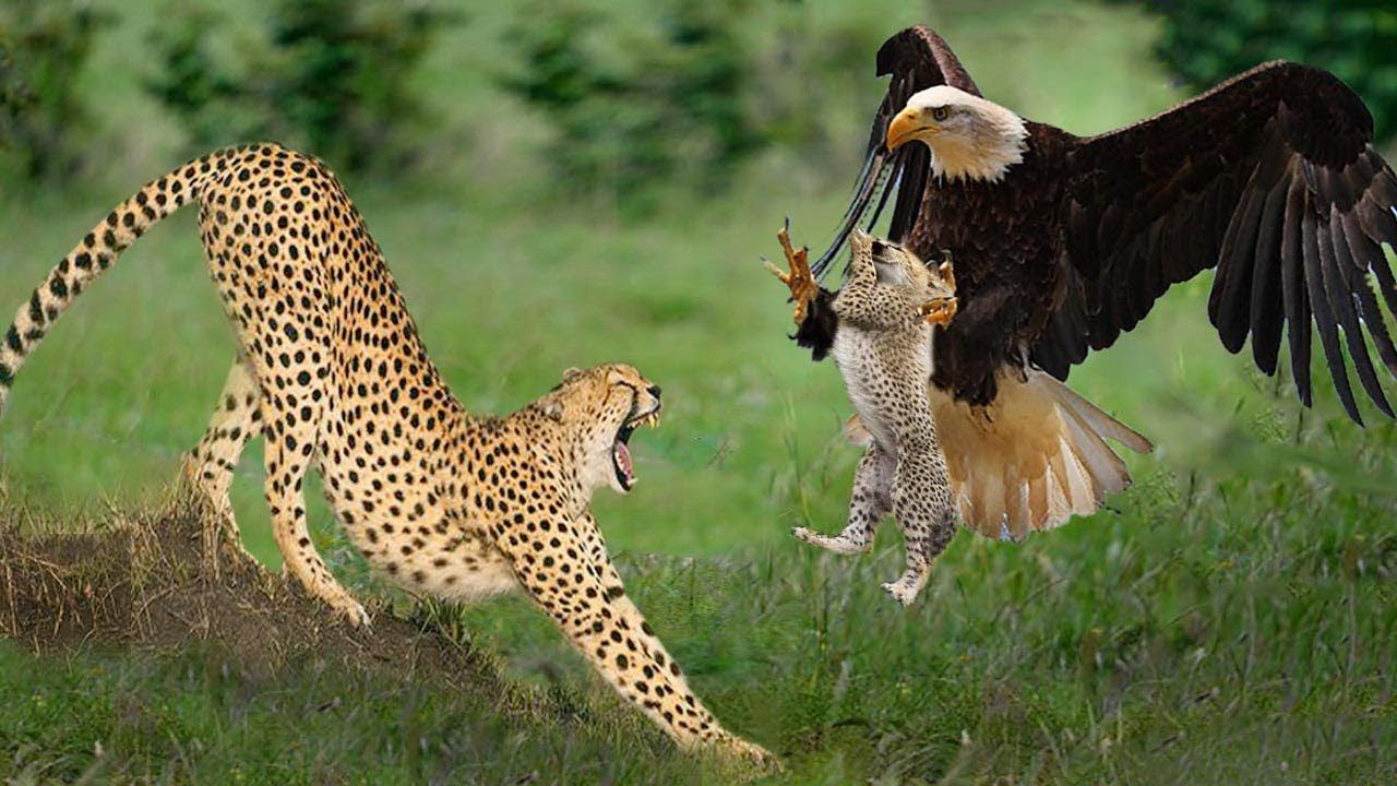 Eagles Catch Cheetah Cubs Mother Cheetah Save Fail & Vs