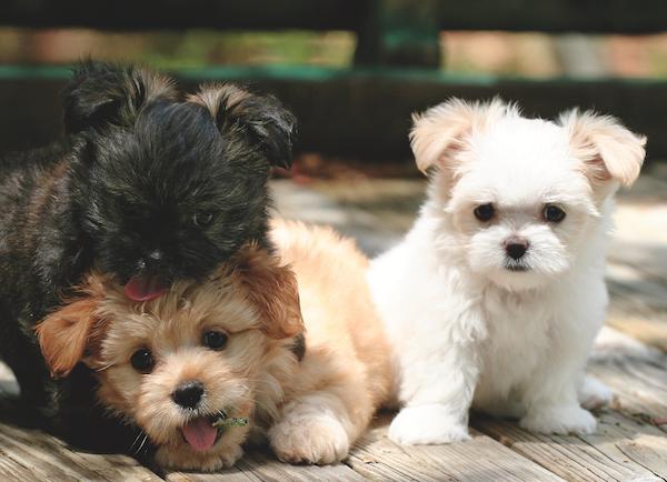 Meet The Mi Ki This Small Dog Breed Makes A Big Impression Best