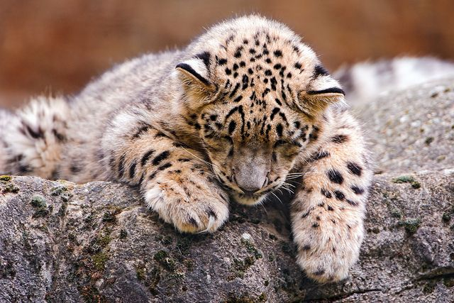 Cub almost sleeping by Tambako the Jaguar, via Flickr