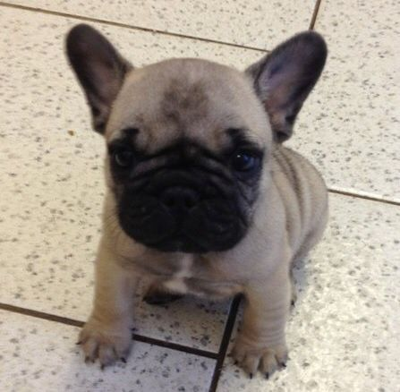 French Bulldog And Pug Mix French Bulldog Pug Mix Frenchie Pug