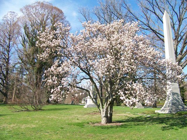 Magnolia Denudatayulan Chinese Yulan Magnolia Landscape