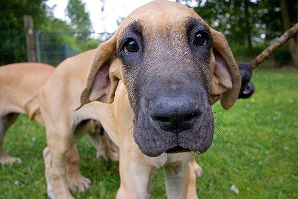 Deutsche Dogge Welpe Weitwinkelaufnahme Hundefoto Hundebild Mit Bildern Hundefotos Hunde Hunde Fotos