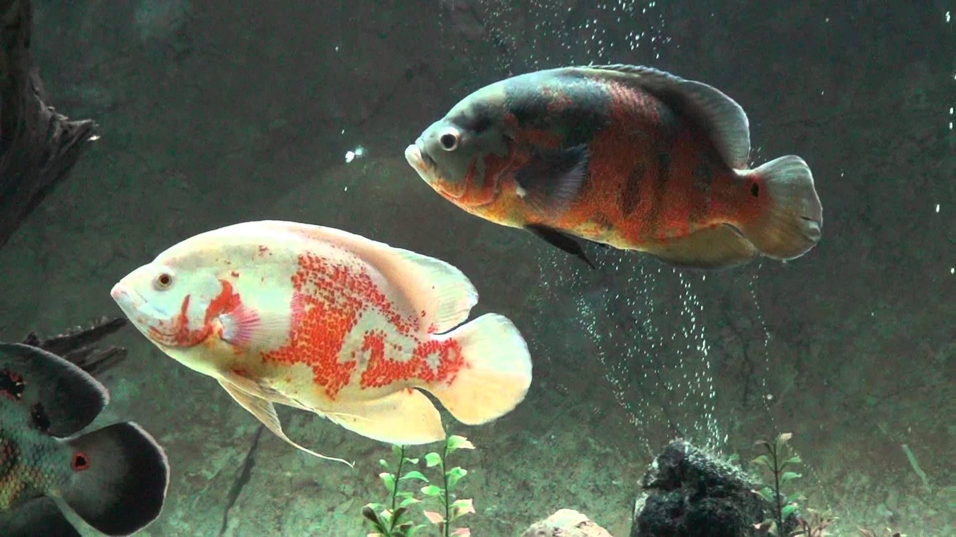 Oscar Fish Fish Wallpaper Oscar Fish Fish Wallpaper Fish