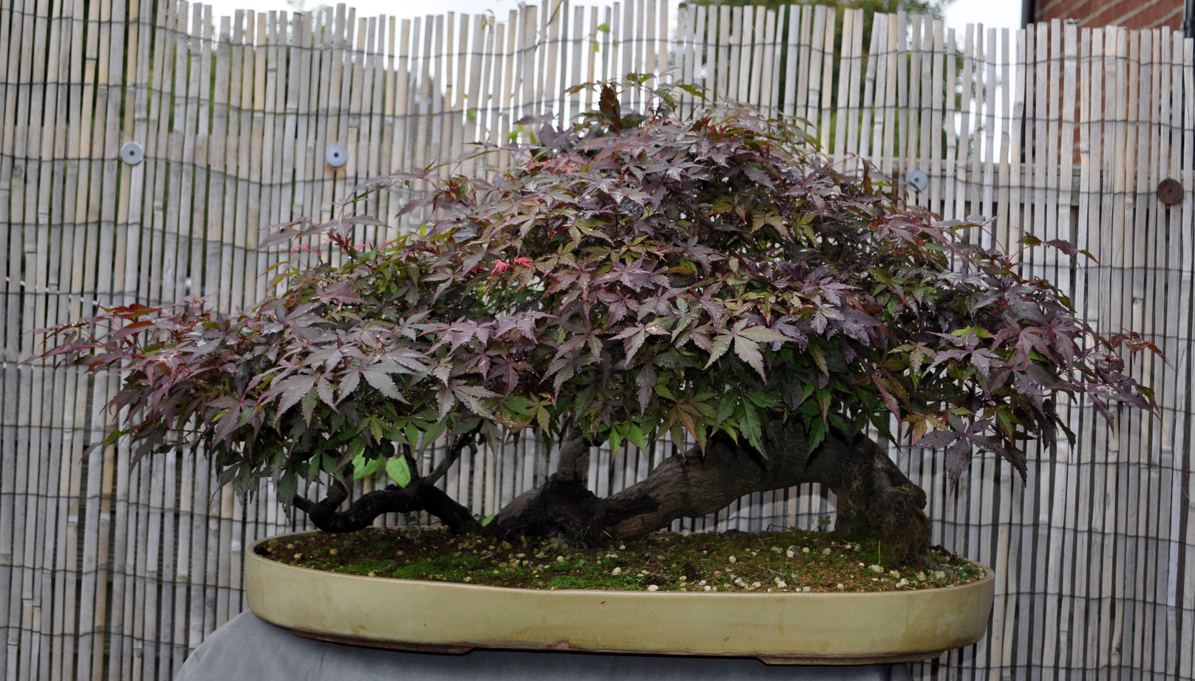 pin by scott on raft bonsai bonsai bonsai styles plants