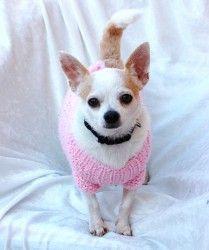 Adopt Tapioca On Chihuahua Chihuahua Dogs Cute Puppies