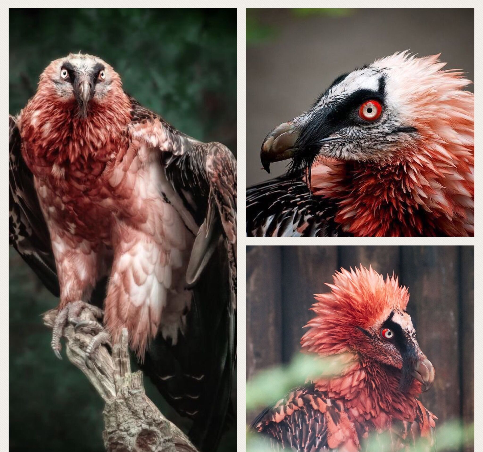 The Red Bearded Vulture Is The Only Known Animal Whose Diet Is