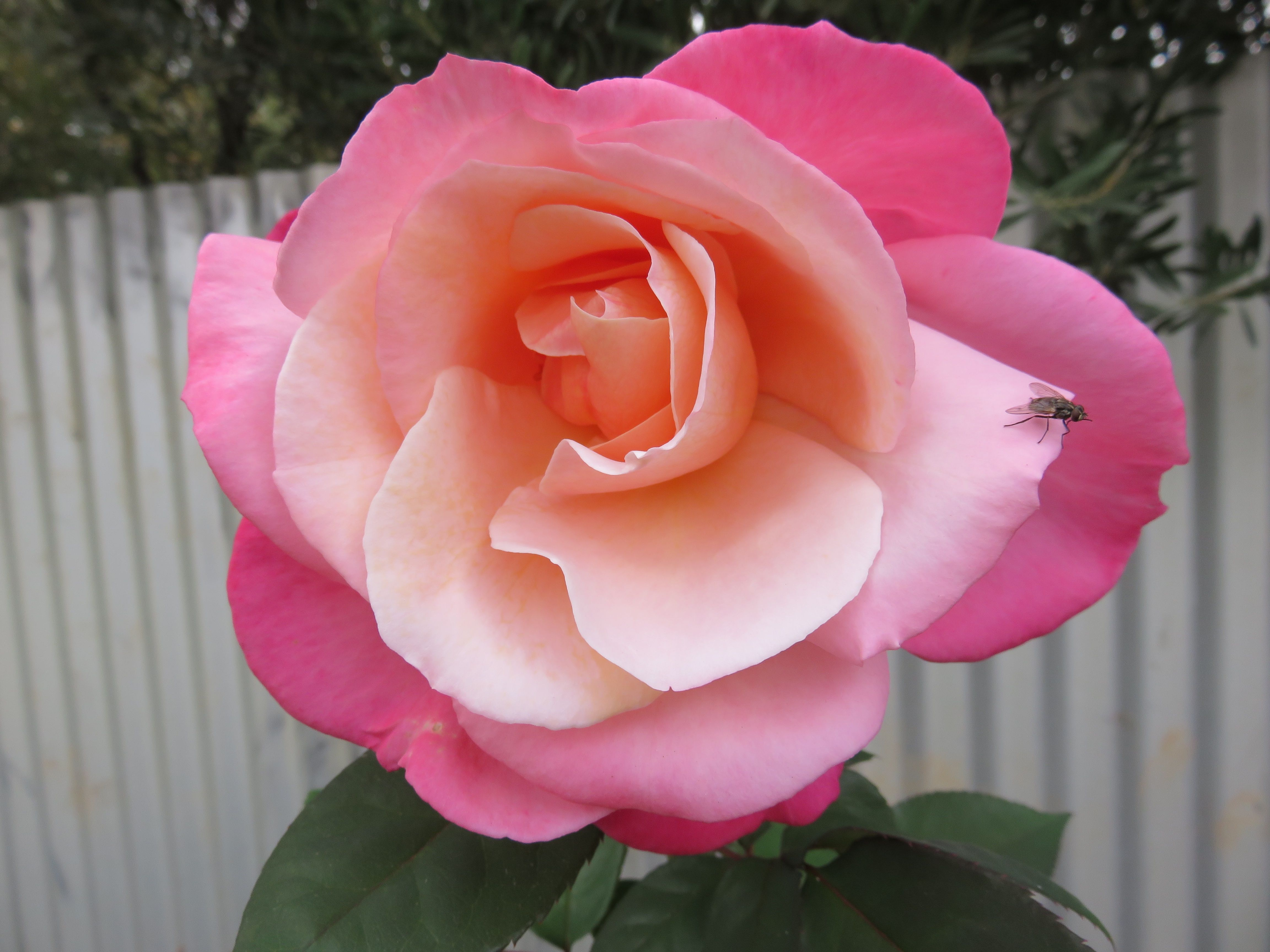 My Very Pretty Pink Rose Just Sharing My Beautiful Flowers