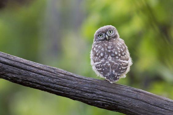 Little Owl by Michael Rumiz