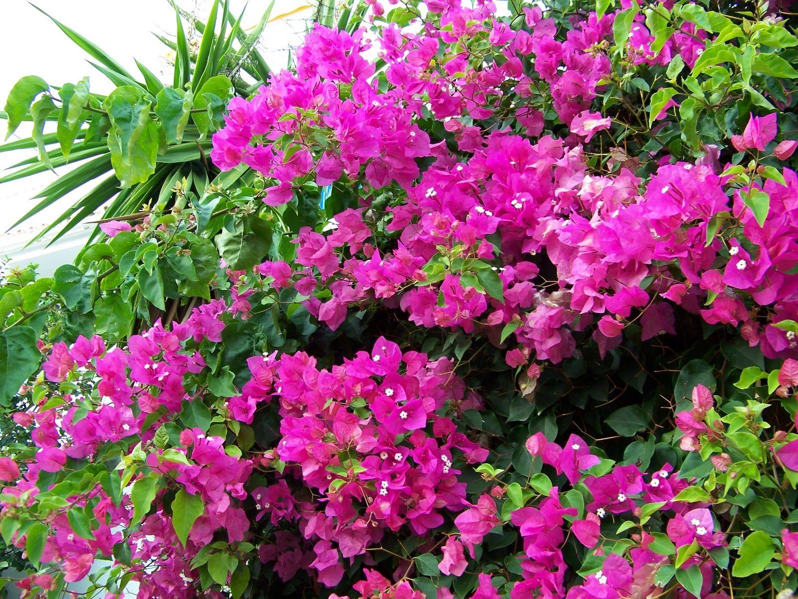 Cuidados de la buganvilla plantas y flores plantas for Jardineria exterior con guijarros