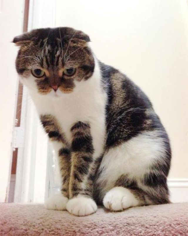 Family Members Guests And The Scottish Fold Best Cat Breeds Cats And Kittens Cat Scottish Fold
