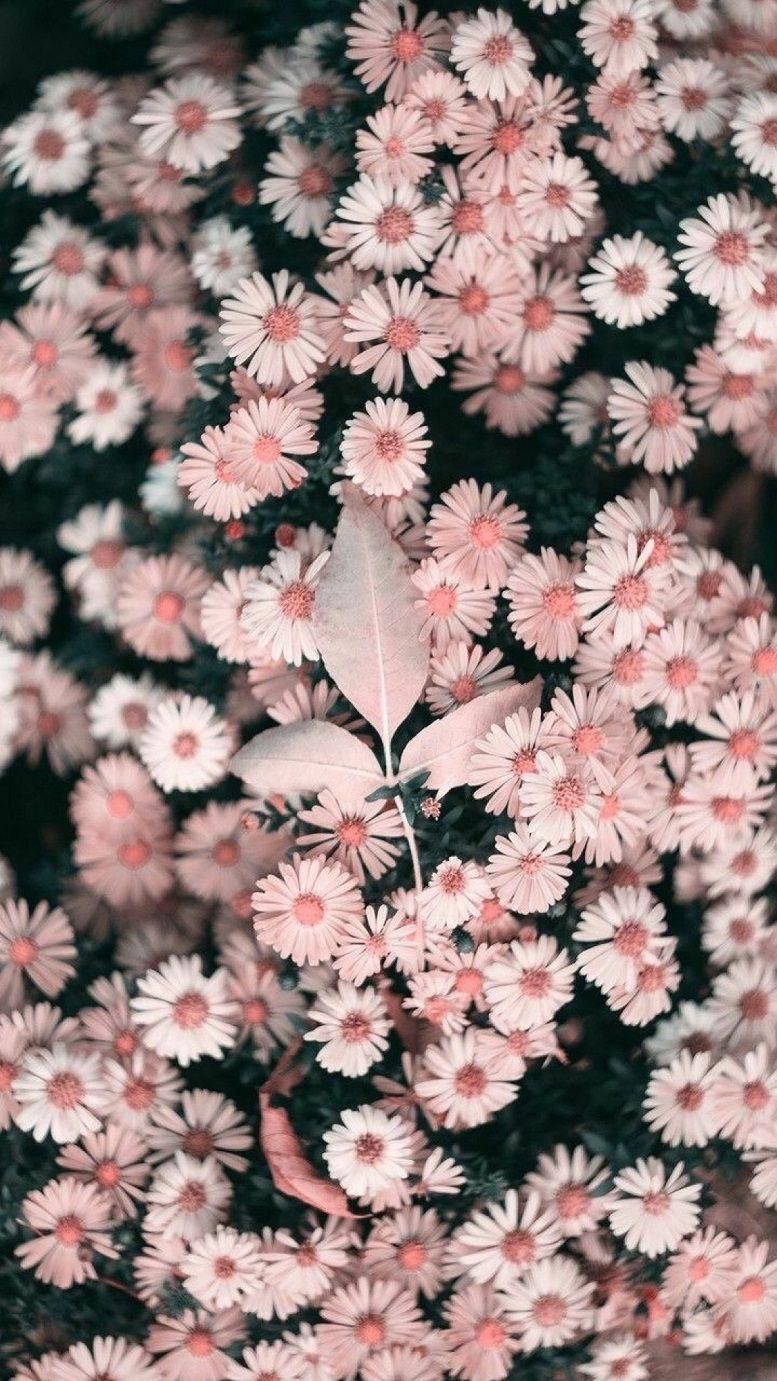 Beautiful Pink Daisies Iphone Wallpaper Iphone Background Summer Iphone Background Spring Iphon Flower Iphone Wallpaper Sunflower Wallpaper Floral Wallpaper
