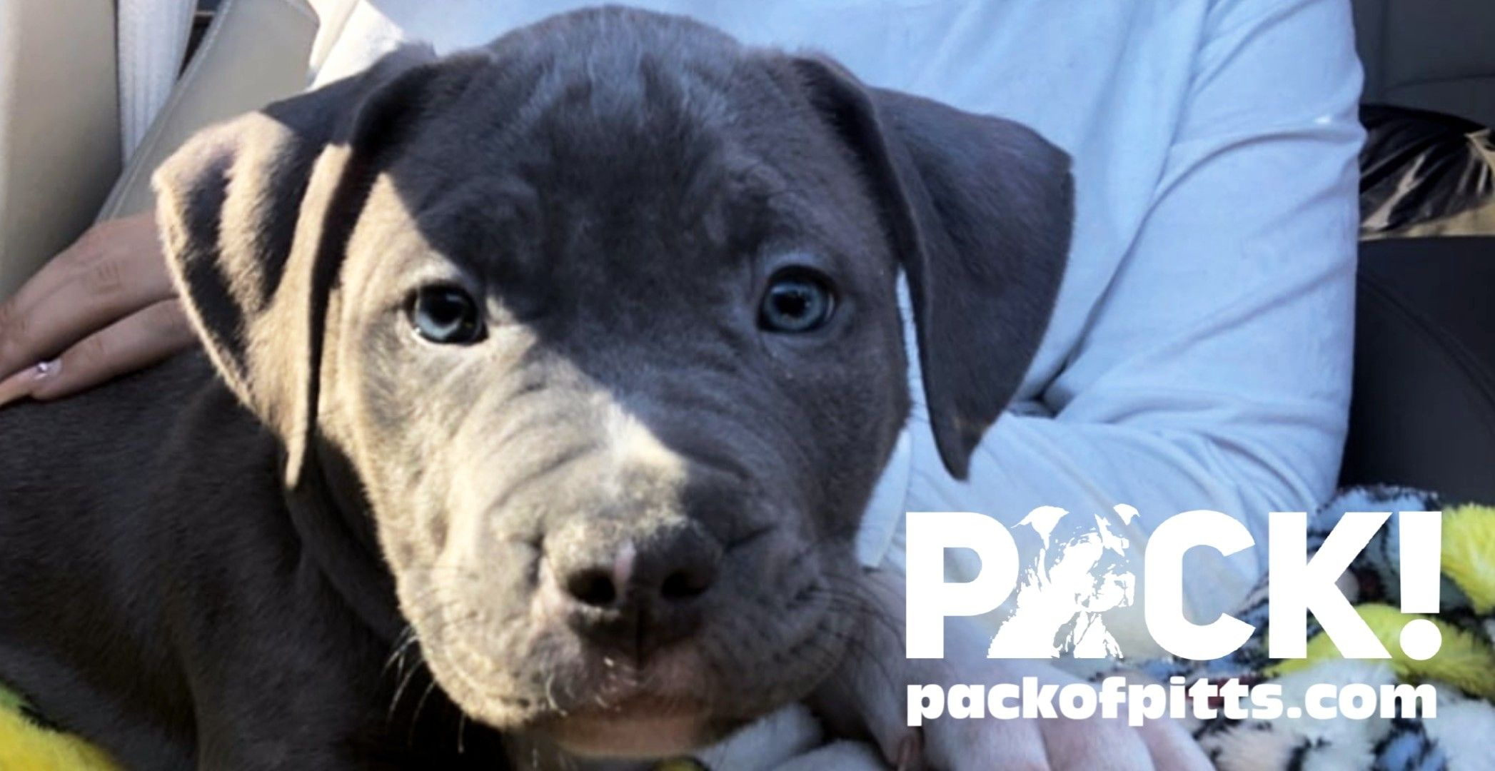 Pack S Banks Pack Of Pitts Kennels Buffalo New York And Niagara Falls Ontario Canada Packofpitts Com In 2020 Pitbull Puppies American Pitbull Terrier Pitbull Terrier