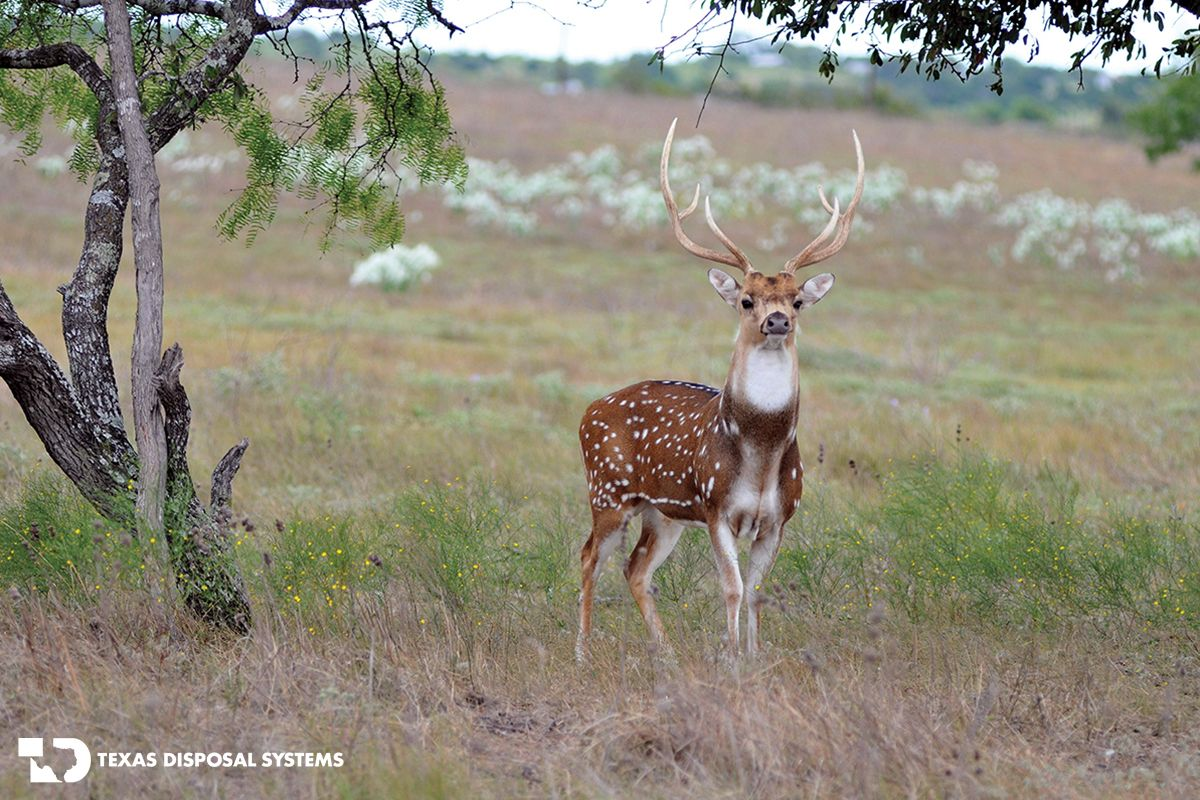 Axis Deer at the TDS Exotic Game Ranch. axis, deer,