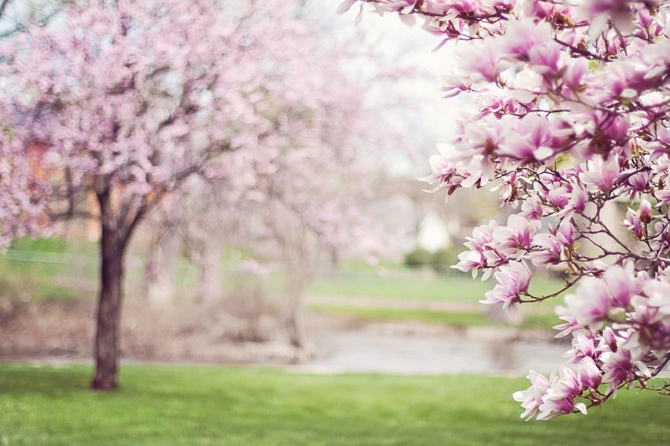 De Lente Is In Aantocht Hoveniersbedrijf Tim Kok Magnolia Trees Magnolia Blossom Trees