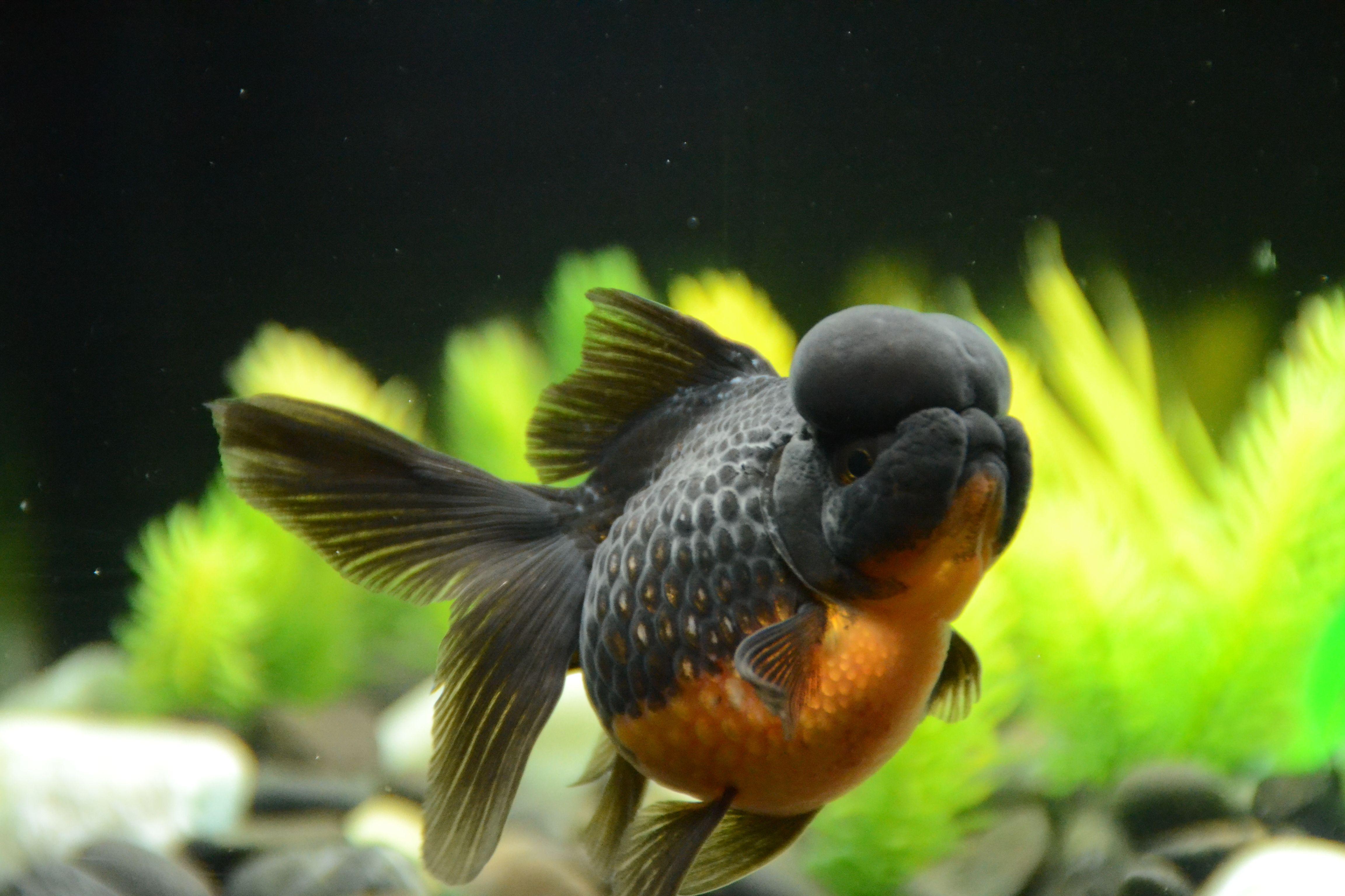 Black Pearlscale Oranda Goldfish Black Body With Orange Belly Buygoldfishonline Com Goldfish Live Aquarium Oranda Goldfish