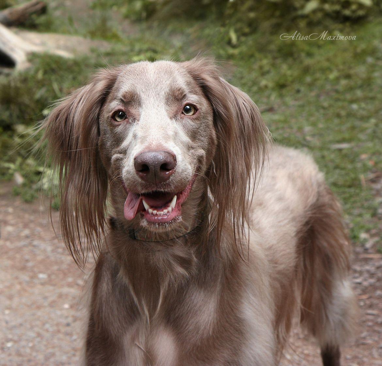 Long Haired Weimaraner Puppy Hound Chien Perro Hond Hund