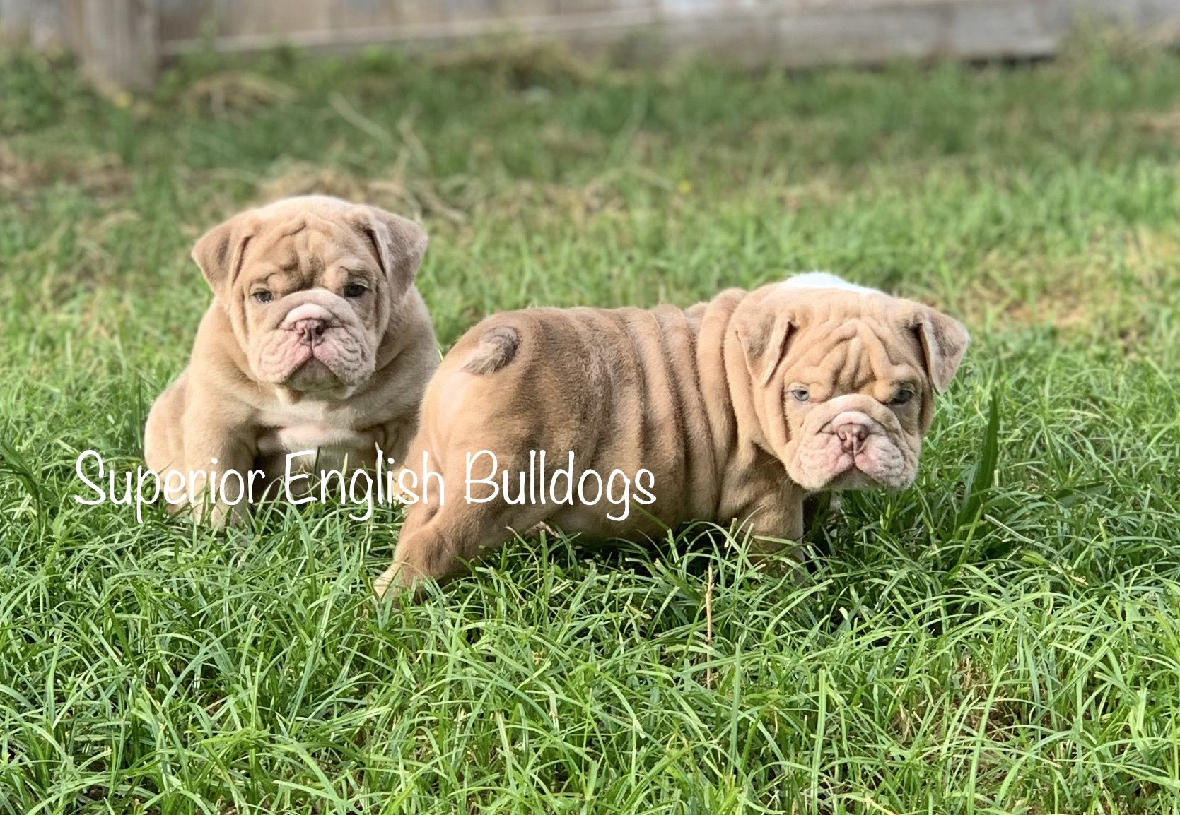 English Bulldogs image by Superior English Bulldogs