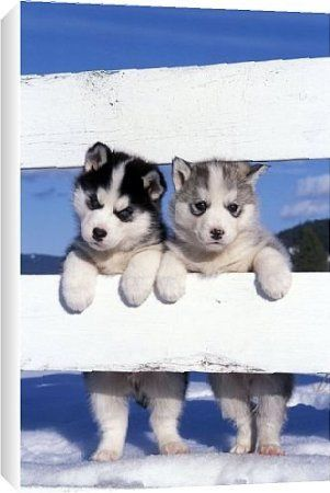 Siberian Huskies Two Puppies Standing Looking Through Fence From