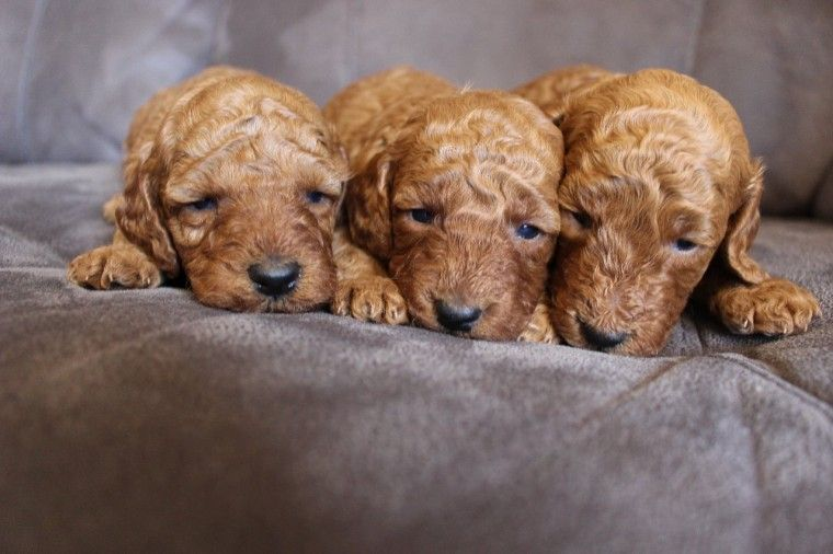 Stunning Pure Dark Red F1b Cockapoo Puppies Cockapoo Puppies