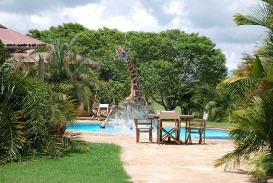 giraffe-in-the-pool-1