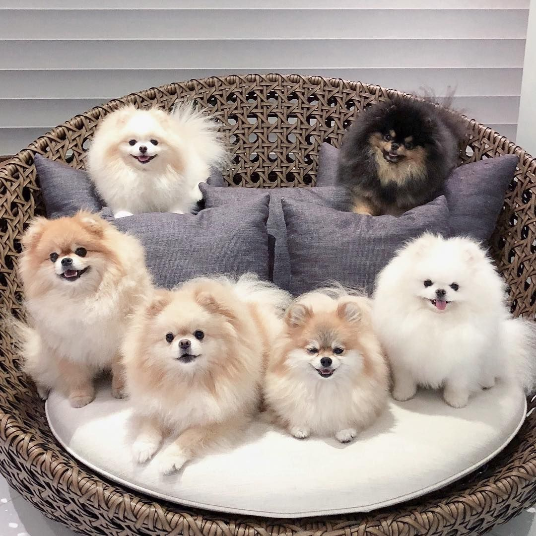 Smilebehappy Boo Boo Awesome Dog Boo The Most Beautiful Dog Boo In The World Boo The Pomeranian Boo World S Susse Tiere Babyhunde Hundebabys