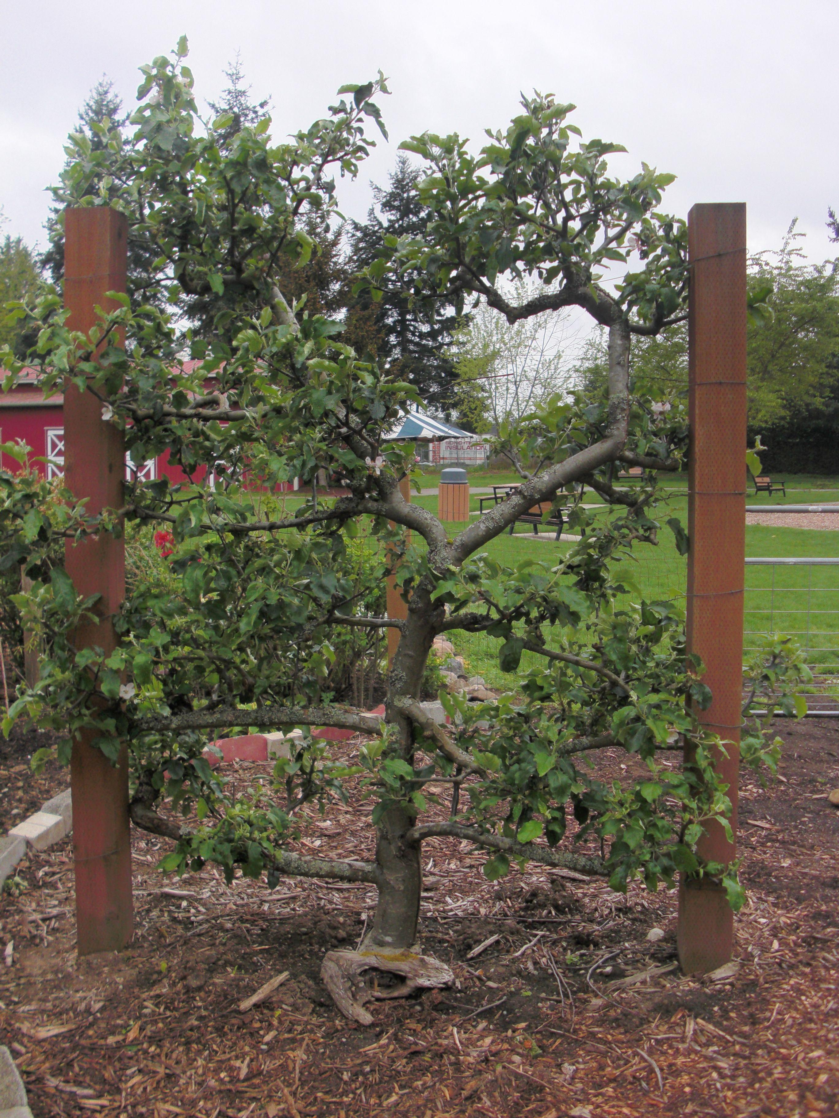 Espalier Tree   Espalier Apple Trees