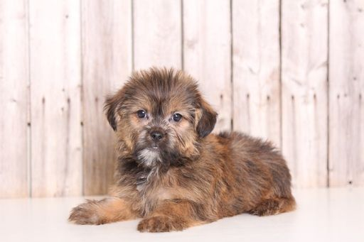 Shorkie Tzu puppy for sale in MOUNT VERNON, OH. ADN-43887 on PuppyFinder