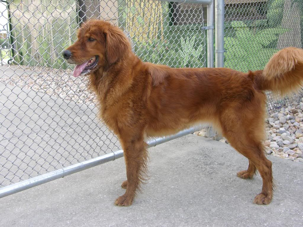 Real Red Golden Retriever Golden Retriever Red Red Retriever Golden Retriever