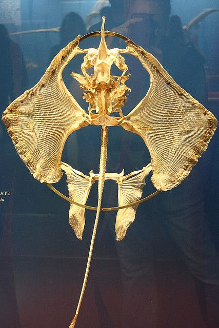 Manta Ray Skeleton Skulls Bones Pinterest Manta Ray