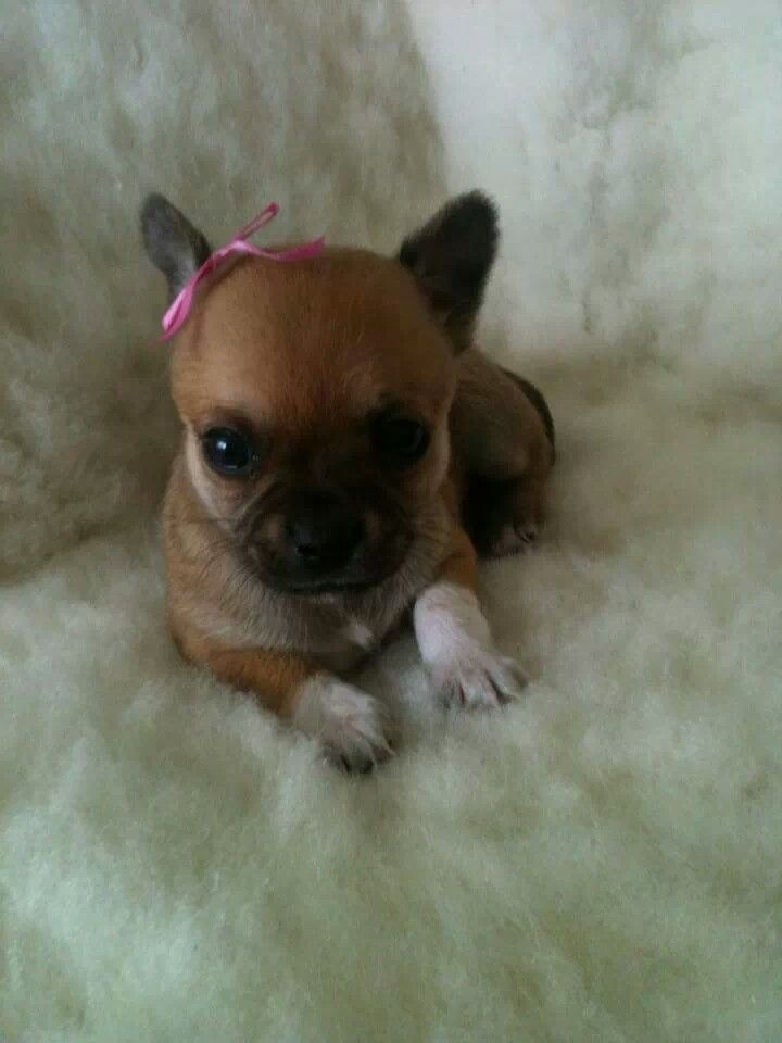 Pin by Patricia Lindon on Chihuahua Pups Cute