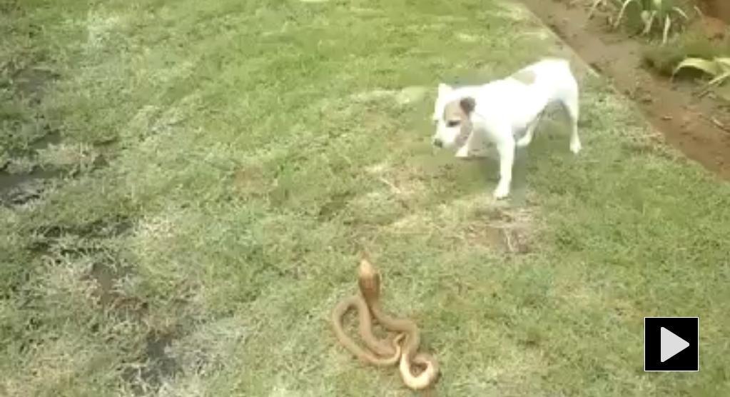 Dog Confronts Deadly Cobra!!!