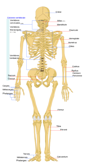Parts Of Sternum Ideas For The House Pinterest Human Skeleton