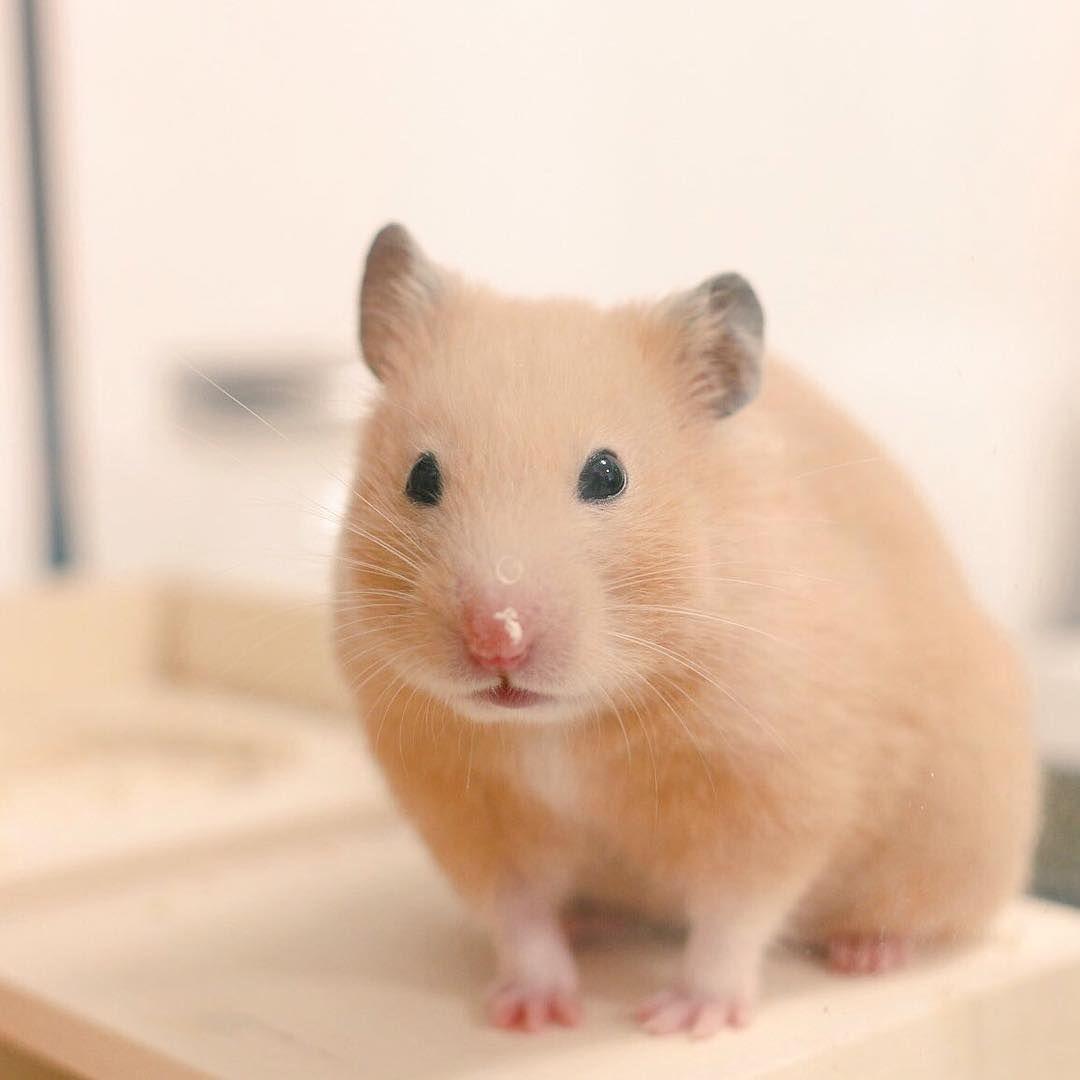 Most Popular Hamster Breeds In 2020 Hamster Breeds Funny Hamsters Hamster