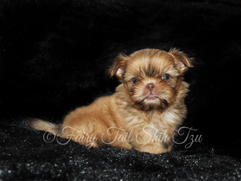 Nursery Fairy Tail Shih Tzu Tiny Teacup Imperial Shihtzu Puppies For Sale Little Pumpkin Available For Adopti Chinese Imperial Dog Shih Tzu Imperial Shih Tzu