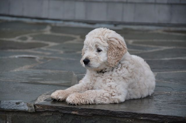 Almond Blossom Doodles Beautiful Goldendoodle Breeders