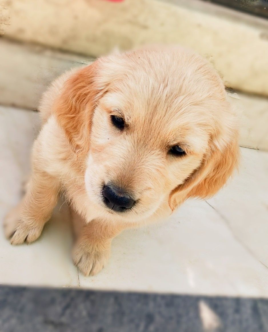 Hi I Am Gracy I Am 45days Old Golden Retriever Puppy With Images