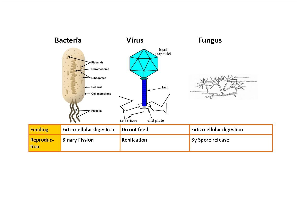bakteria og virus essay Free primates papers, essays, and research papers with transmission between primates and humans, the virus has been spread from there to west africa.