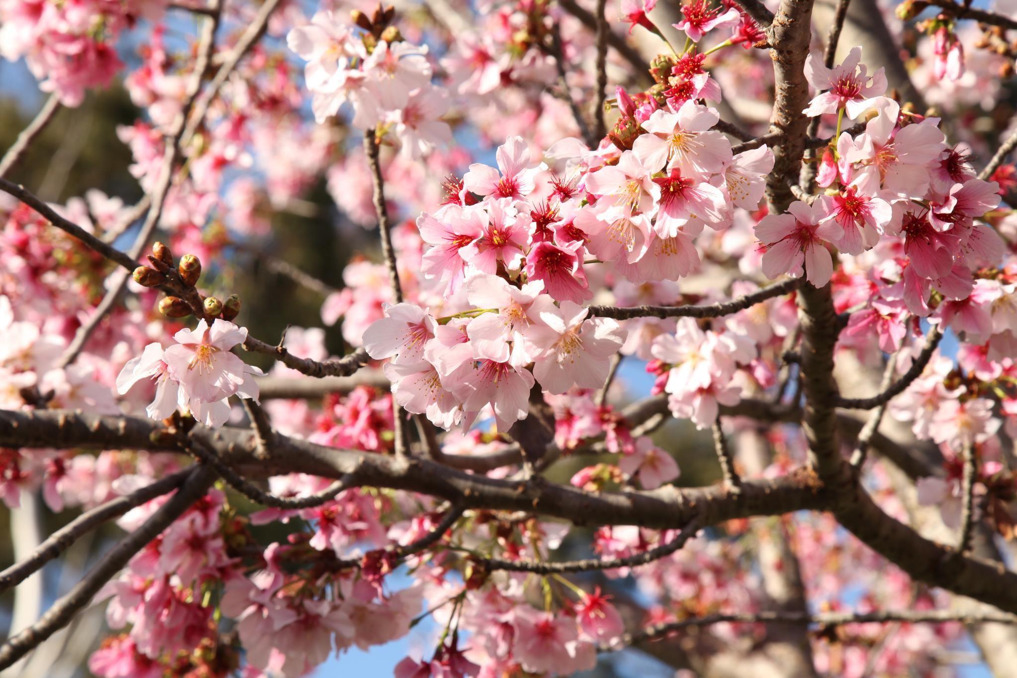 Japanese Friendship Garden San Diego Cherry Blossom Festival 2016 In San Diego Ca Everfest Cherry Blossom Festival Cherry Blooms Cherry Blossom