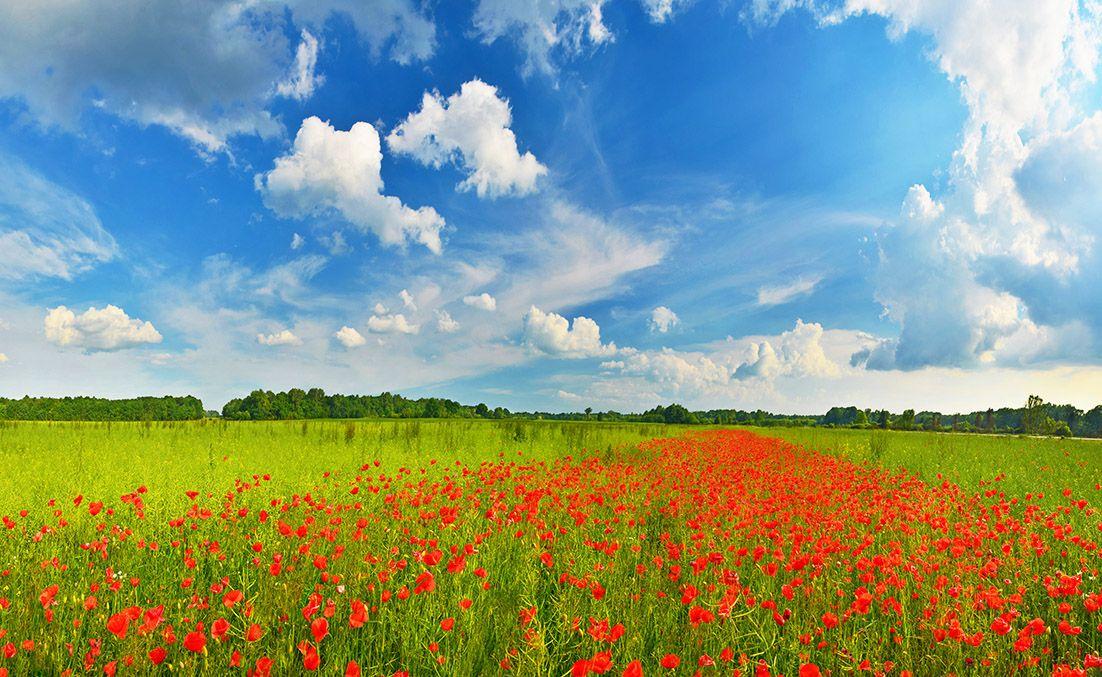 #poppy_field in summer countryside