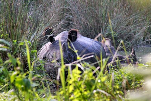 Head-On Encounter with Wild Rhinos In Nepal's Chitwan National Park