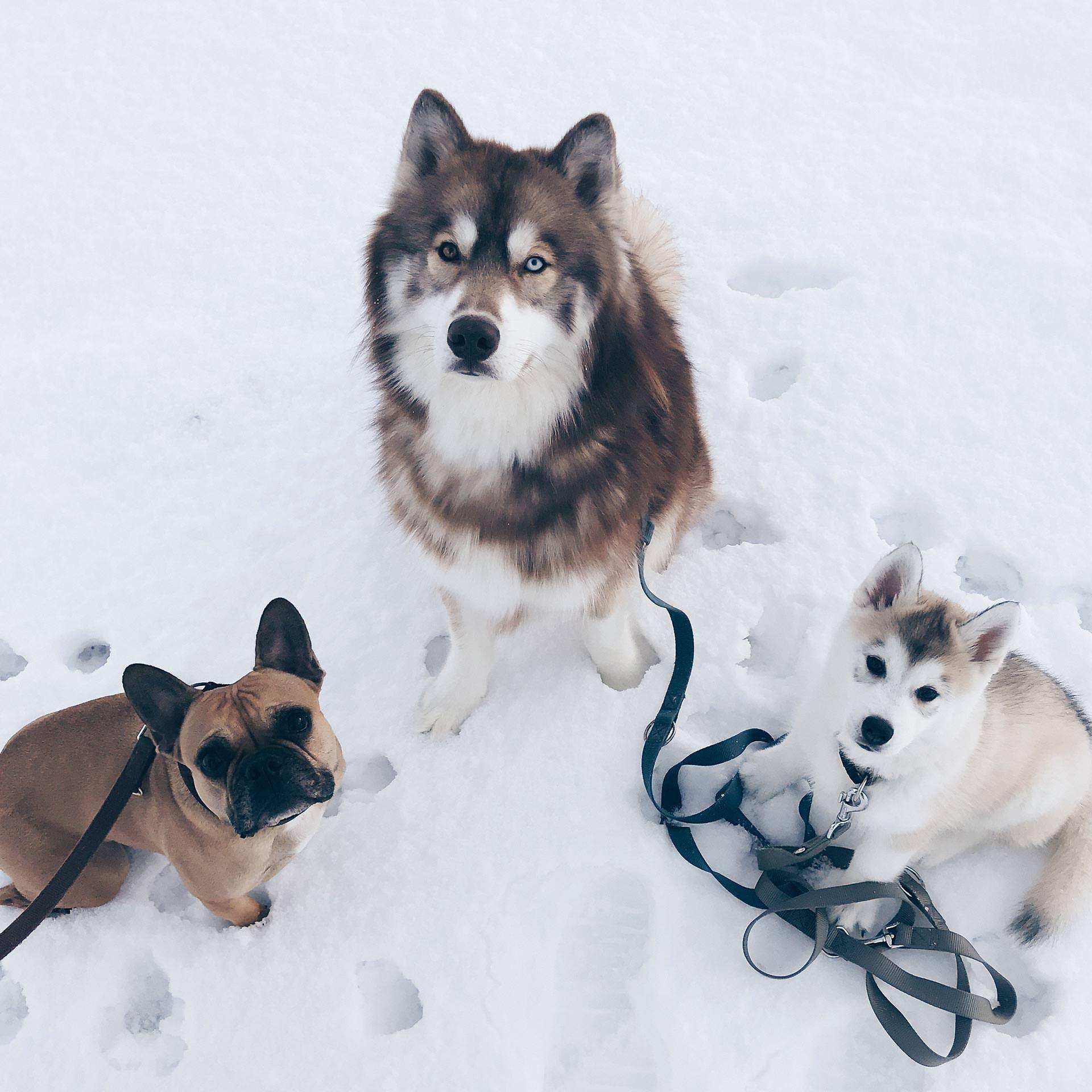 The Pawsome Tyroleans Der Hundeblog Aus Osterreich Hundeblogger Tirol Style Blog Sibirischer Husky Franzosische Bulld Sibirischer Husky Schone Hunde Hunde