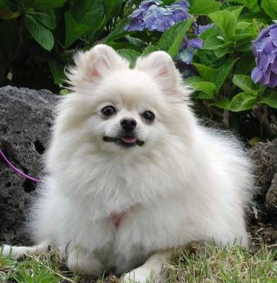 Pomeranian Dogs Wallpapers My Style Dogs Pomeranian Puppies