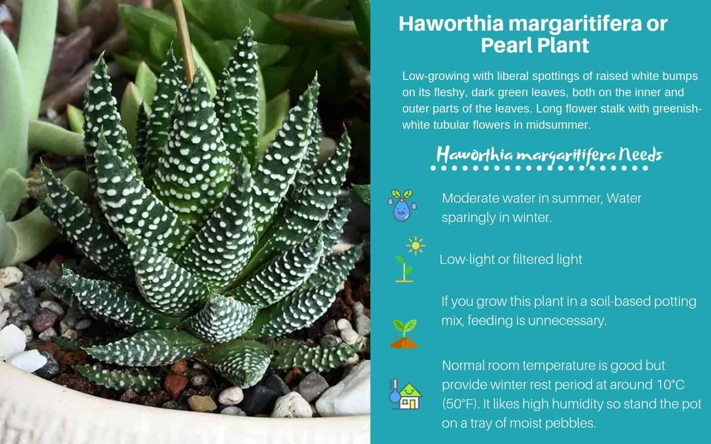 Haworthia Margaritifera Or Pearl Plant Now Called Tulista Pumila Low Light Succulents Plants Types Of Succulents Plants