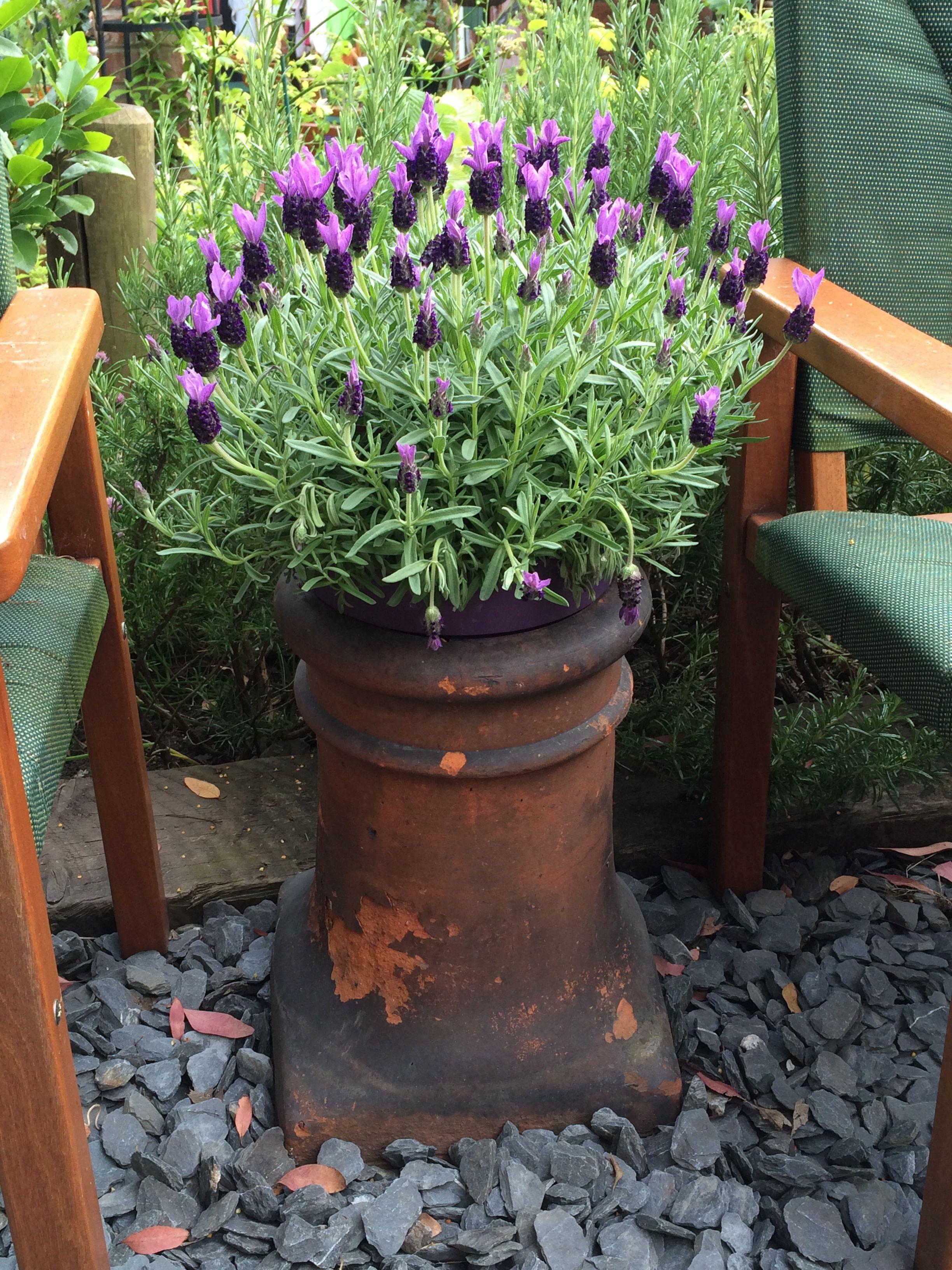 chimney pot lavender lavendel lavande pinterest bier und g rten. Black Bedroom Furniture Sets. Home Design Ideas