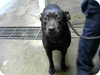 Stockton Ca Labrador Retriever Mix Meet Connie A Dog For
