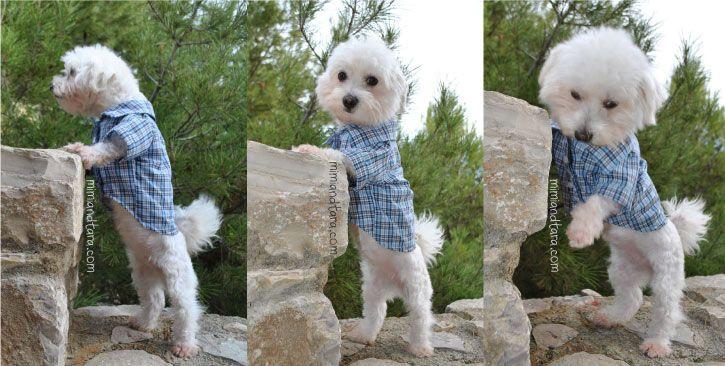 Dog sewing shirt | одежда выкройки для собак | Pinterest | Dog ...